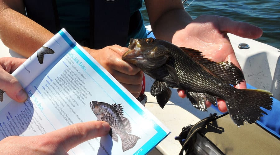 A person identifying a black sea bass.