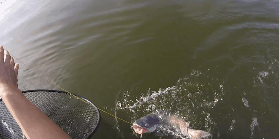 A catfish striking a jug line with cut bait at the end of it.