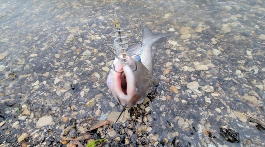 A catfish caught at Creve Coeur Lake, one of the best places to catfish in Missouri.