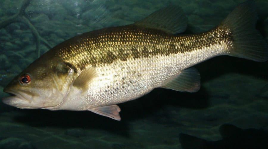A largemouth bass against a dark background.