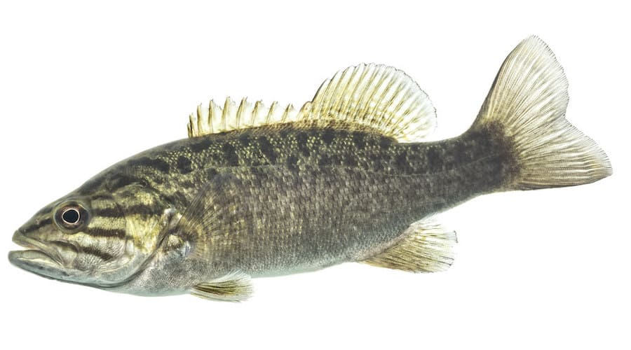 A smallmouth bass against a white background.
