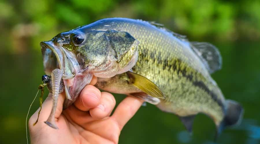 A person lipping a largemouth bass out of the water.