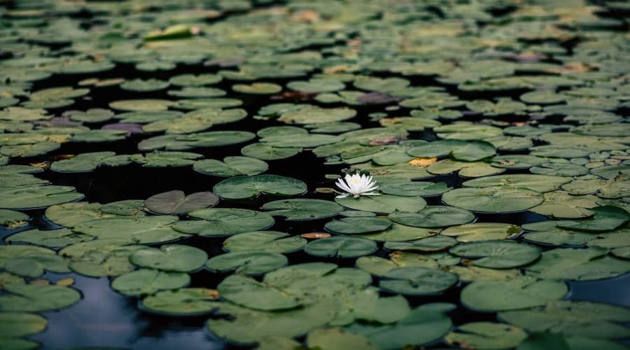 A bed of lily pads on the water.