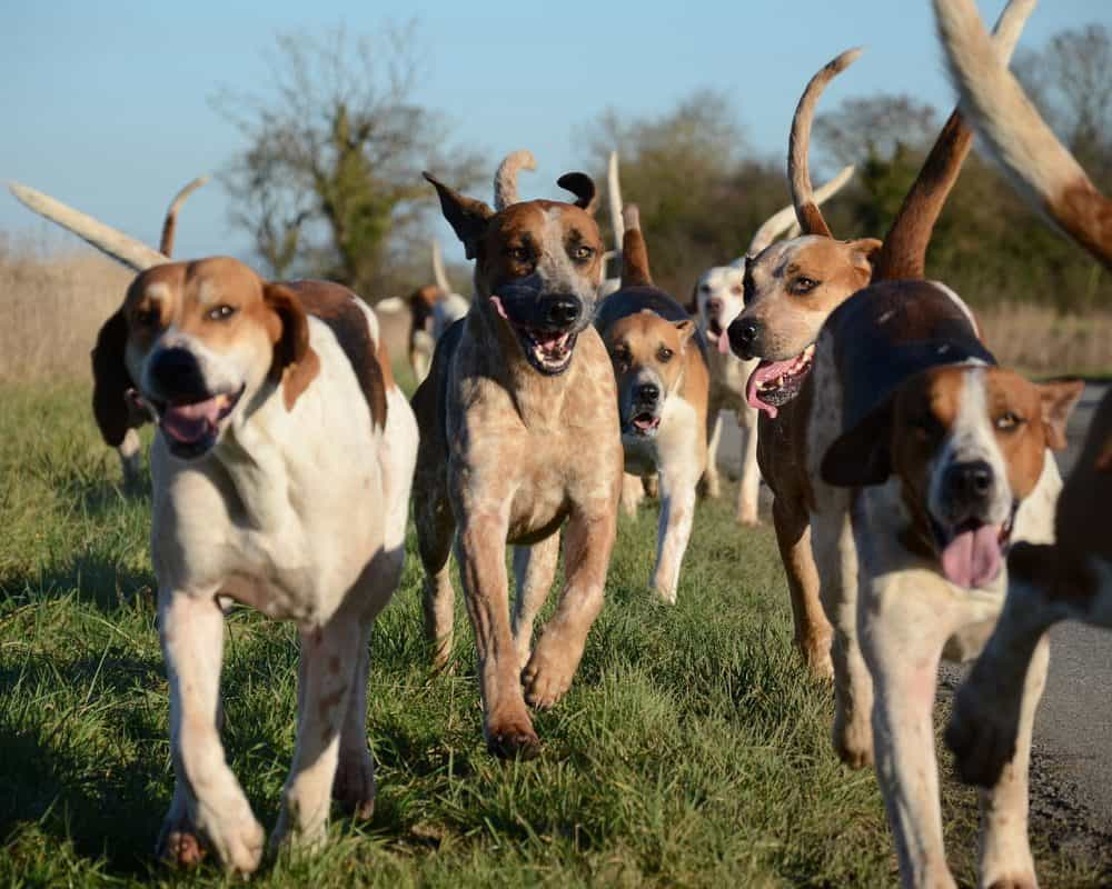 Top Hunting Dogs - American Foxhound