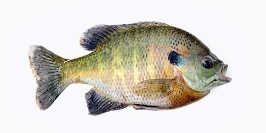 A bluegill against a white background