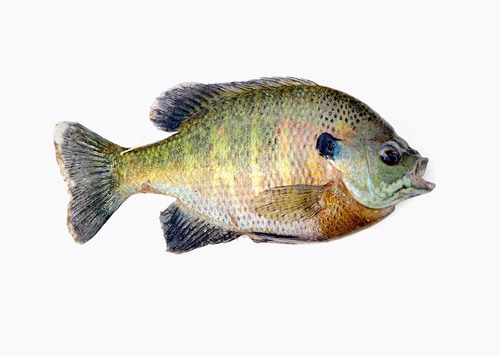 Live Bluegill - The Best Catfish Bait for Any Occasion