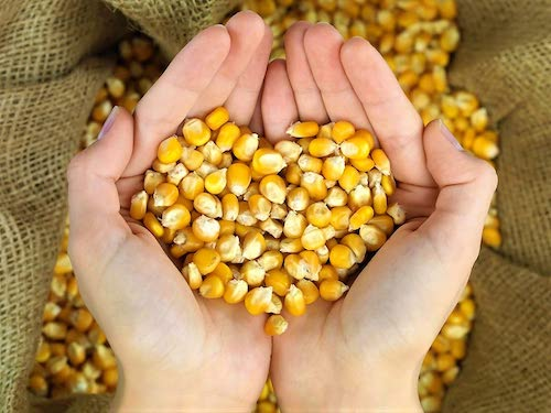 Whole Corn Feed for Wildlife