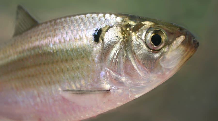 A gizzard shad against a green background.