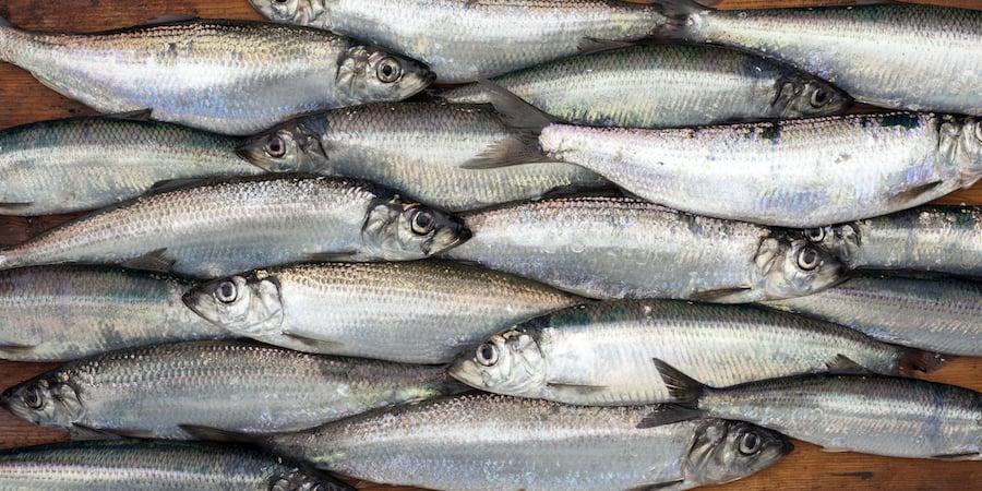 A school of herring fish