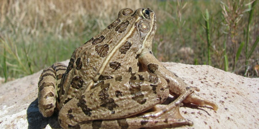 A leopard frog on a rock with grass in the background