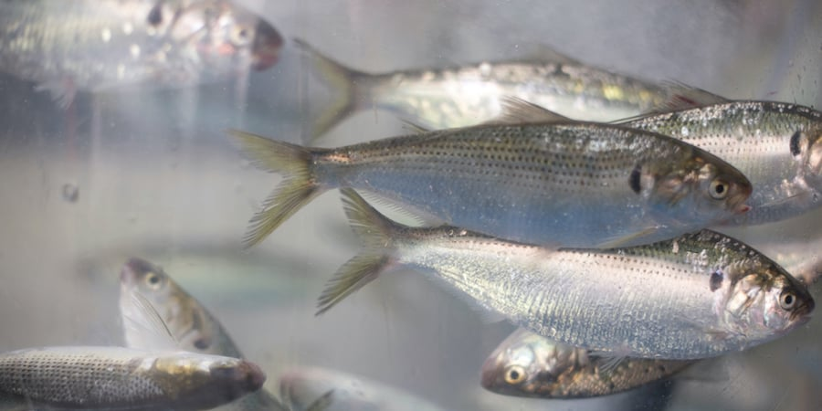 A school of shad swimming with water in the background