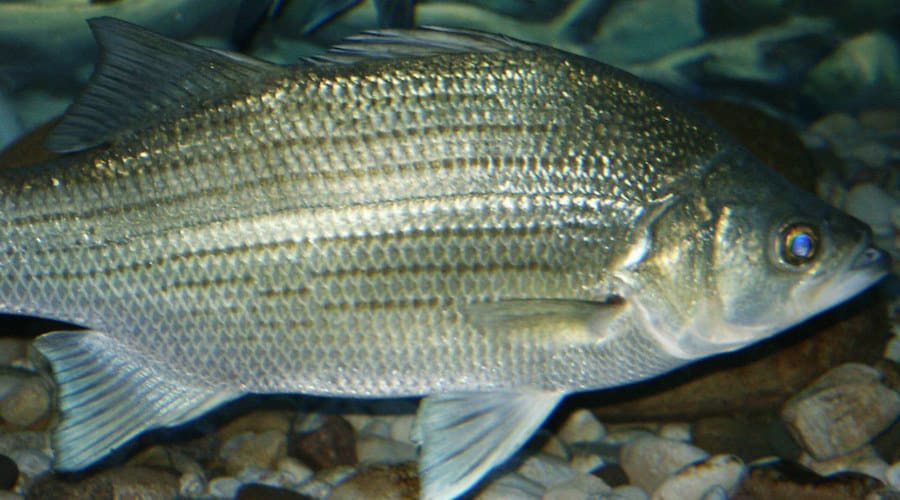 A white bass underwater with other fish in the background.